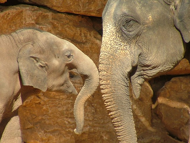 An Asian Elephant (Elephas maximus) named Tamar and her 13-month-old baby, Gabi, at the Jerusalem Biblical Zoo, by SuperJew