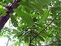 Asimina triloba 1zz.jpg