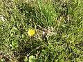 Asteraceae.2230.JPG