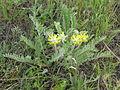 Astragalus dasyanthus habitus 1.jpg