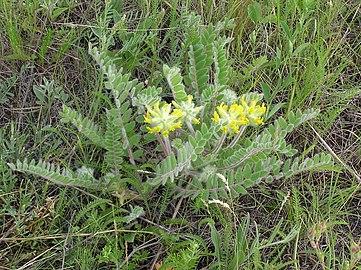 Astragalus dasyanthus habitus 1
