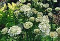 Astrantia major 1b.jpg