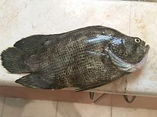 Atlantic tripletail wikipedia for Triple tail fish