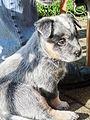 Australian Cattle Dog puppies 03.JPG