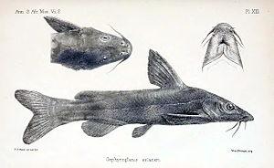 Austroglanis - Austroglanis sclateri