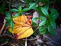 Autumn leaf is falling down.jpg