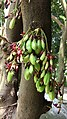 Averrhoa bilimbi - fruit and flowers on tree trunk.jpg