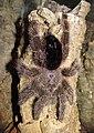 Avicularia-huriana-adulte-female.jpg