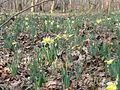 Avilly-Saint-Léonard (60), fleurissement des jonquilles dans la forêt de Chantilly 7.JPG