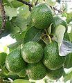 Avocado cv Choquette.jpg