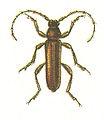 Axinopalpis gracilis.jpg