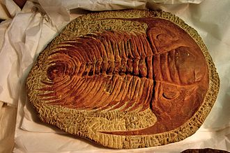 Trilobite - Redlichiida, such as this Paradoxides, may represent the ancestral trilobites.