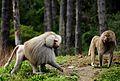 Baboons (9439127803).jpg