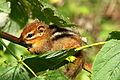 Baby-chipmunk-hanging-fall-feeding-berry-bush-branch - West Virginia - ForestWander.jpg
