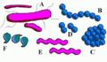 Bacteria shape.png
