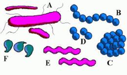 Bacterie kokken. Traducere
