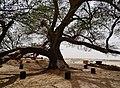 Bahrain Tree of Life 20.jpg
