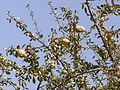 Balanites aegyptica fruits and leaves.jpg