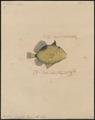 Balistes rivulatus - 1700-1880 - Print - Iconographia Zoologica - Special Collections University of Amsterdam - UBA01 IZ15400069.tif
