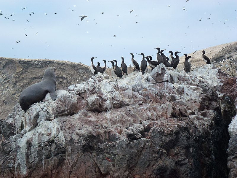 Fichier:Ballestas Islands birds an otaries of Pérou .jpg