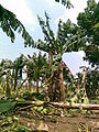 Banana Farm Chinawal 06.jpg