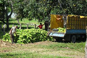 Trade unions in Costa Rica - Nearly all banana workers in Costa Rica are organized in unions