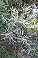 Banksia ashbyi - Bergianska trädgården - Stockholm, Sweden - DSC00345.JPG