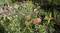 Banksia spinulosa var. collina (15930954318).jpg