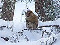 Barbary macaque in cedar.JPG