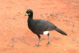 Bare-faced curassow (Crax fasciolata) male.JPG