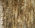 Bark of Cordia dichotoma.JPG