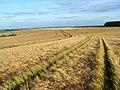 Barley, Ashbury - geograph.org.uk - 918651.jpg