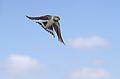 Barn swallow, Hirundo rustica, at Rietvlei Nature Reserve, Gauteng, South Africa (30592754304).jpg