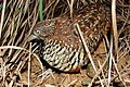Barred buttonquail Nandihills 18July2006bngbirds.jpg