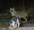 Battle of cat and jackal for food 3.png