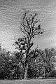 Baum mit Misteln im Schlosspark Biebrich sw.jpg