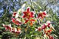 Baumlilie (Lilium) (20469122402).jpg