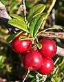 Bearberry (Arctostaphylos uva-ursi) - geograph.org.uk - 260788.jpg