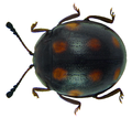 Beccariola wallacei Arrow, 1943.png