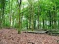 Beech, Coalmire Woods - geograph.org.uk - 18917.jpg