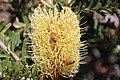 Bees on yellow Silver banksia (33531376020).jpg