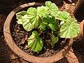 Begonia spp.-1-bsi-yercaud-salem-India.jpg
