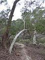 Bend of Eucalyptus in the Land Down Under.jpg