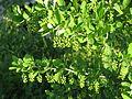 Berberis vulgaris 5878.jpg