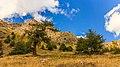 Bergtocht van Gimillan (1805m.) naar Colle Tsa Sètse in Cogne Valley (Italië). Europese lariks (Larix decidua) langs het bergpad 03.jpg
