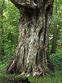 Berk (Betula ermanii). Locatie Hortus Haren.JPG