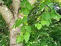 Betula maximowicziana - Botanischer Garten, Frankfurt am Main - DSC03340.JPG