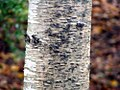 Betula maximowicziana 2zz.jpg