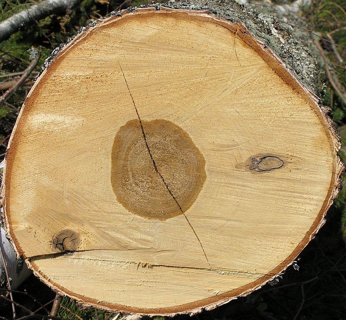 Birch wood wiktionary for Berch wood