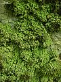 Biatora chrysantha - Flickr - pellaea.jpg